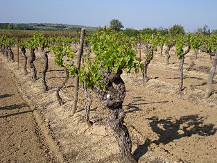Wine Liaisons Languedoc