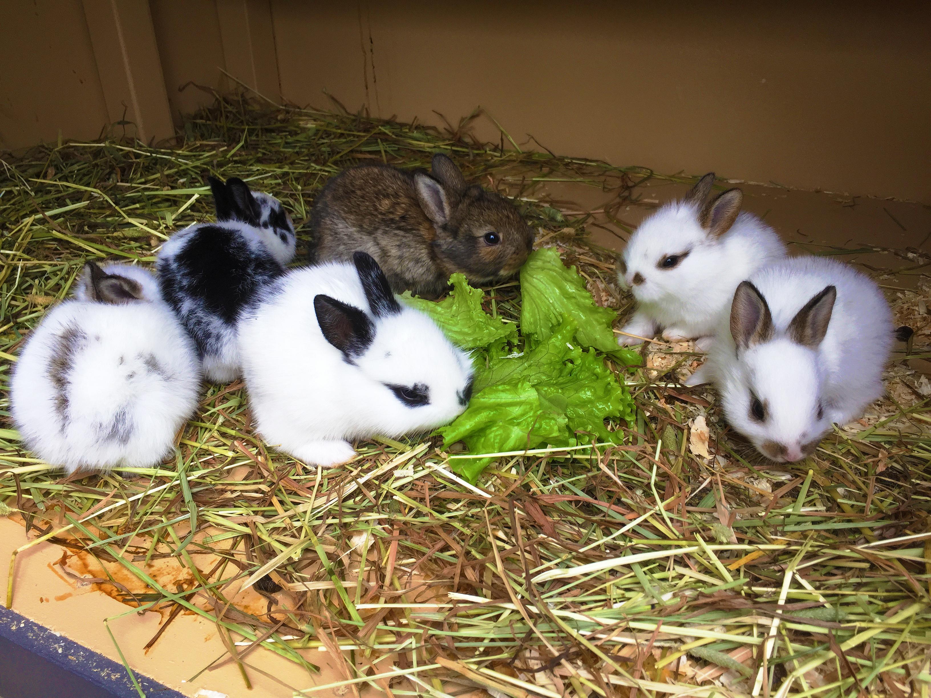 kaninungar till salu
