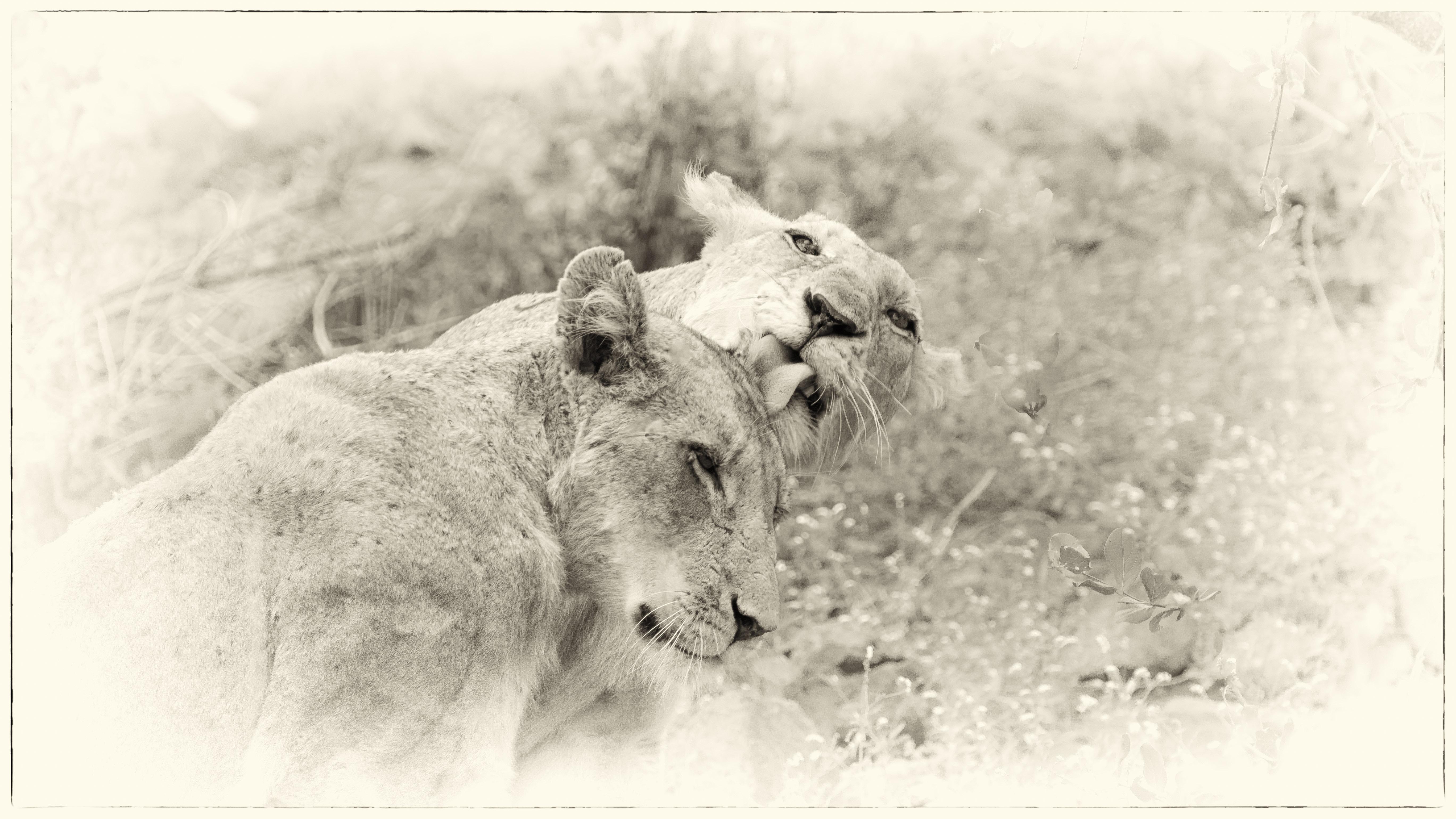 Lions in Heaven
