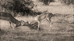 Impala duel
