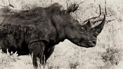 Rhino profile
