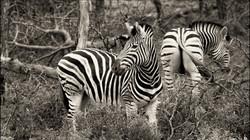 Yipes Stripes