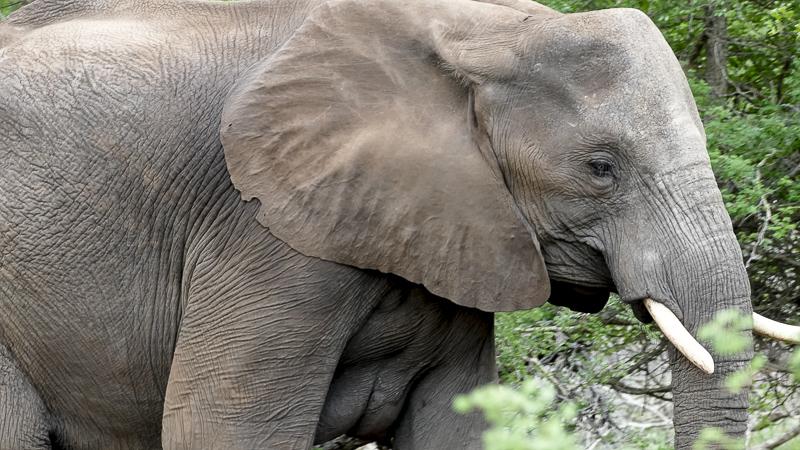Elephant Itch
