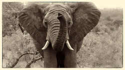 Elephant alarm