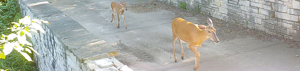 Deer walking through a custom home community in South Elgin Illinois