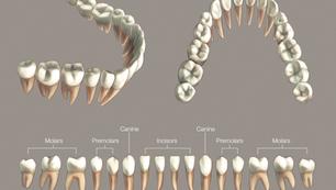 Mandibular Teeth