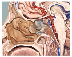 Sagittal Cut of Head