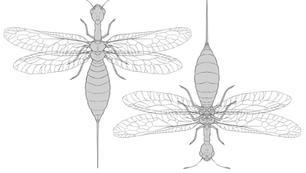 Snakefly Anatomy