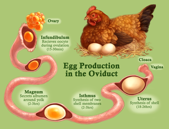 Egg Production of the Chicken