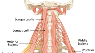 Deep Anterior Muscles of the Neck