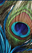 peacock feather .png