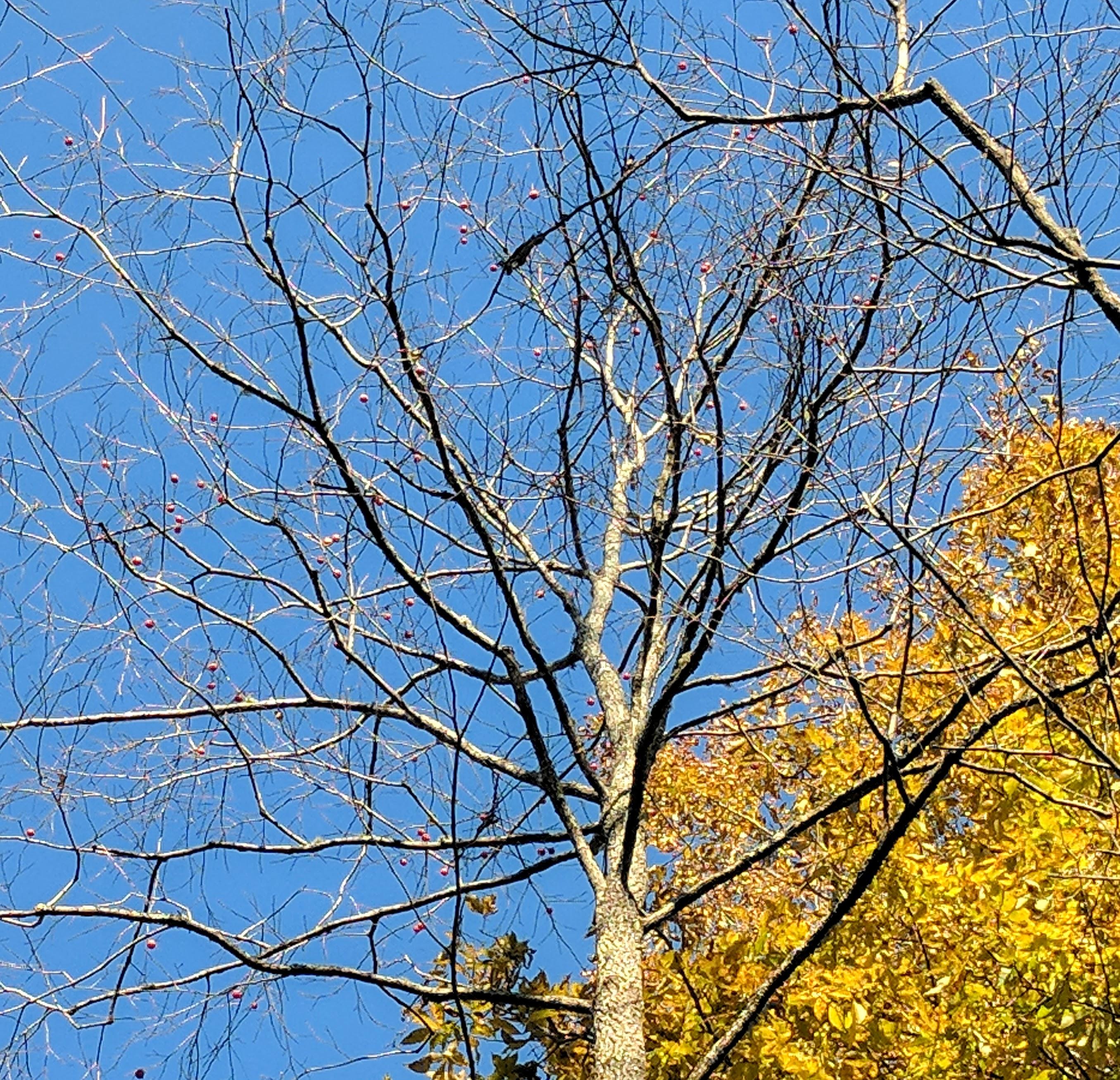 BCB Wild Persimmon Tree