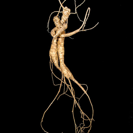 RARE Wild Ginseng Root aka 'She Root' featured in MNN.com article!