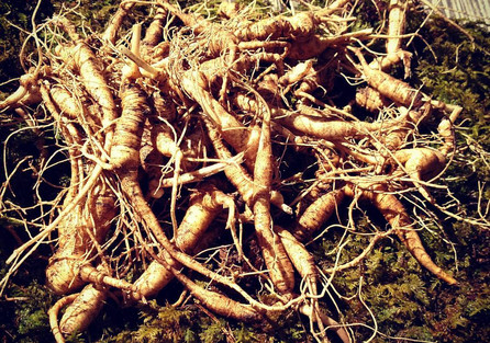 Fresh Wild American Ginseng ~ Ethically Harvested in Small Batches