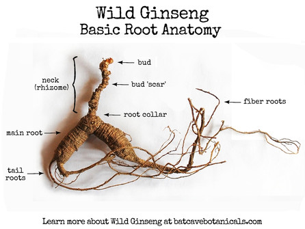 Anatomy of a Wild American Ginseng Root