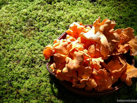 Chanterelles ~ Queen of the Forest