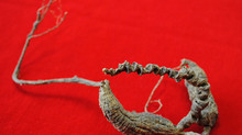 40 Year Old Wild American Ginseng Root