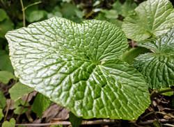 BCB Wasabi Leaf