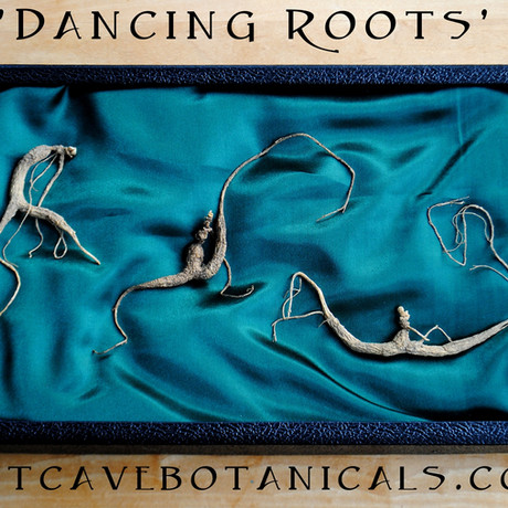 Displaying Ginseng Roots
