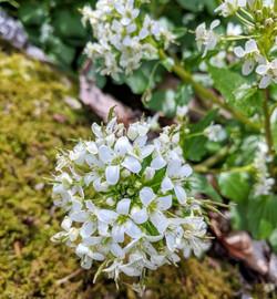 BCB Wasabi Bloom