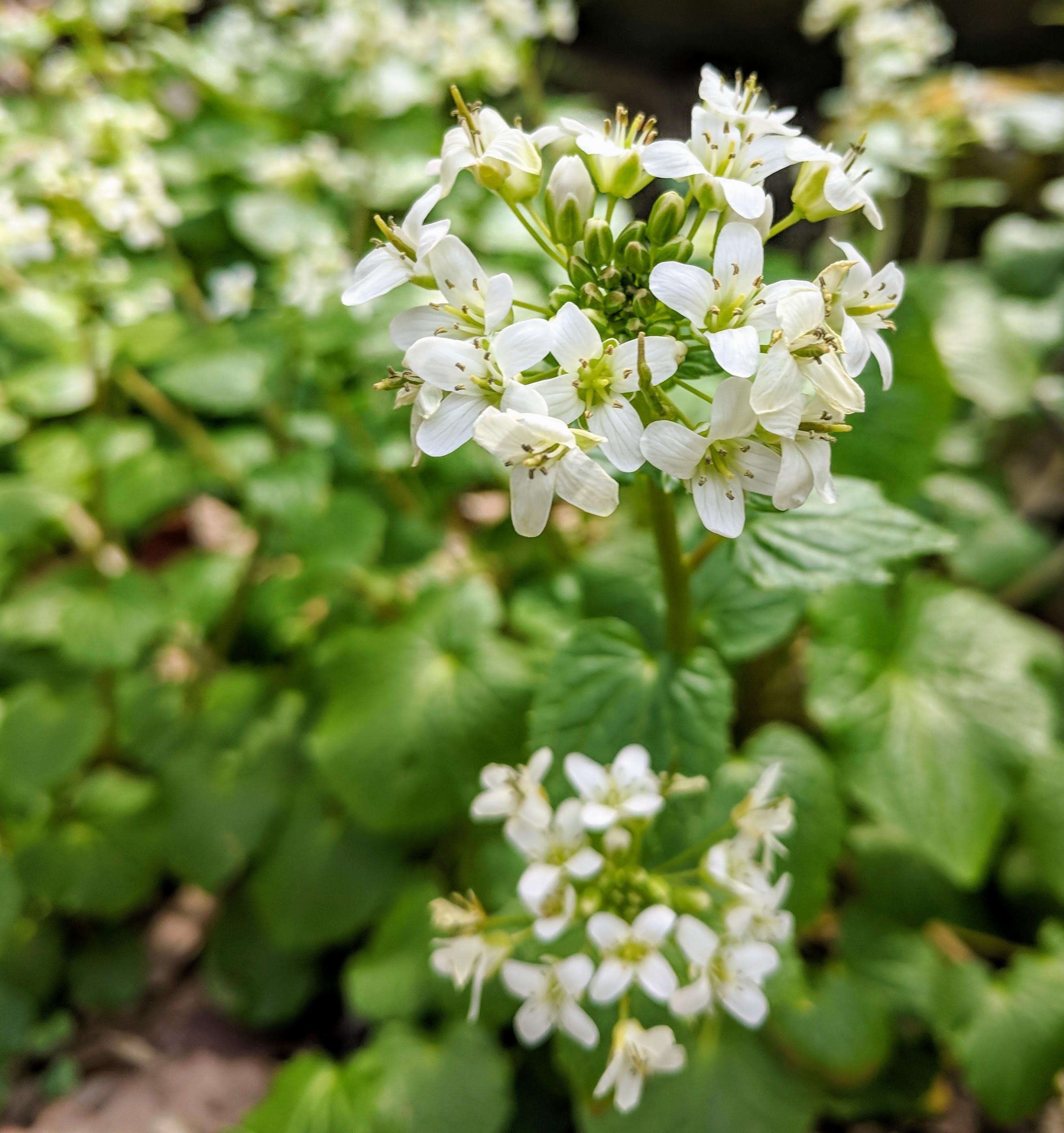 BCB Wasabi Blooms