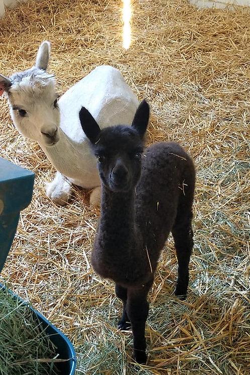 Enjoy Yoga with the near and dear Baby Alpacas!