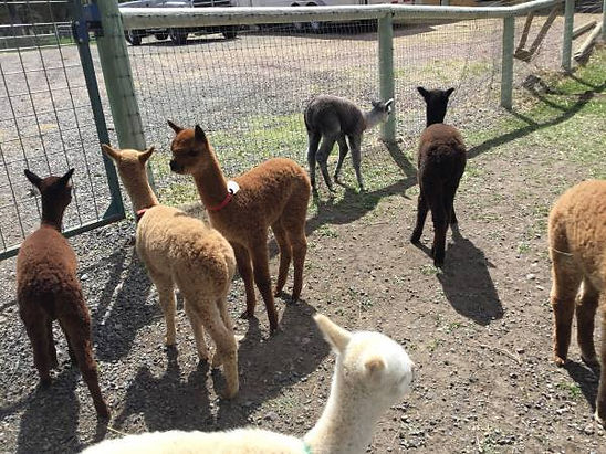 Lots of huacaya crias born on Alpaca Country Estates property!
