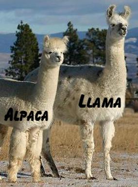 Comparing alpaca to llama