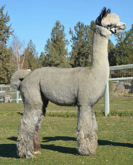 Alpaca Herdsire - NS MAGIC FLIGHT