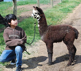 Friendly Alpaca Country Estates Cria with a young boy.
