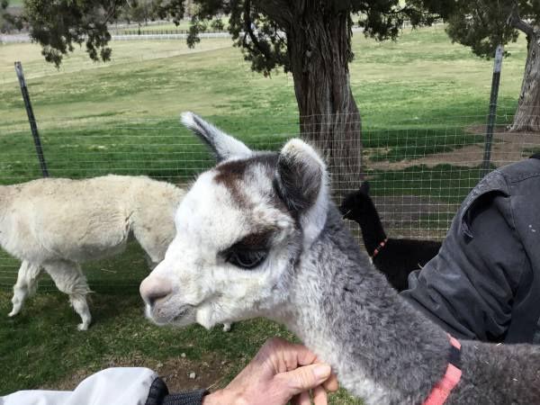 Alpaca Country Estates Cria