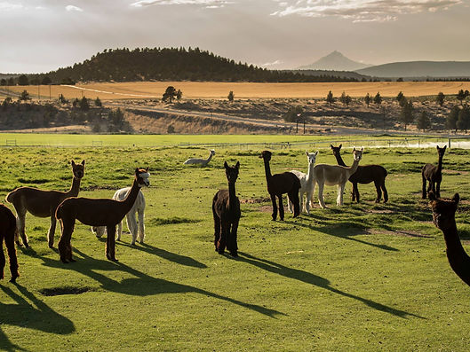 Alpacas at Alpaca Country Estates with mountains in the background