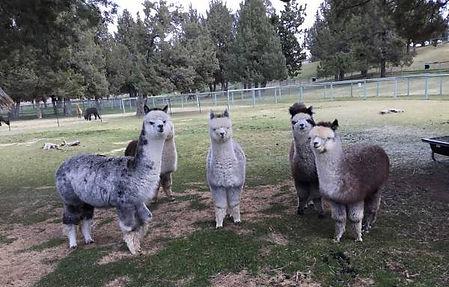 Alpacas at Alpaca Country Estates