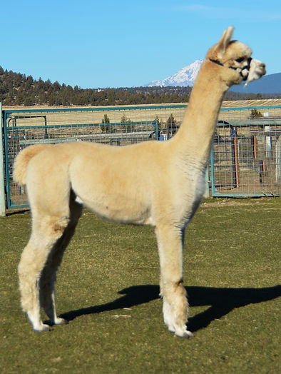 Alpaca Herdsire - ESTATES JIMMY DURANTE