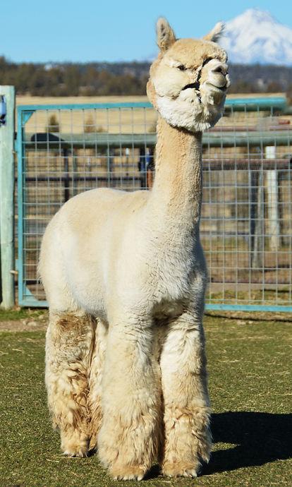 Alpaca Herdsire - SNOWMASS PURE PASSION