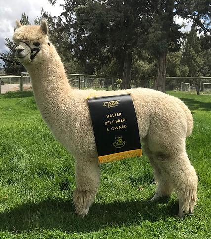 Alpaca Herdsire - ESTATES LEGENDARY PICASSO