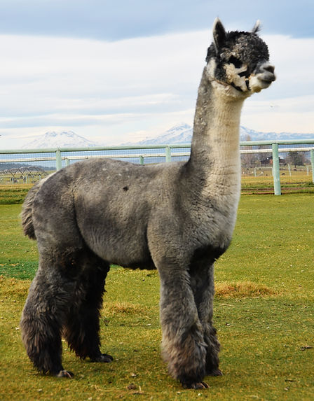 Alpaca Herdsire - ESTATES AVIGNON