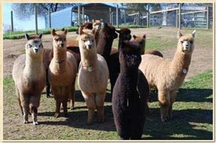 Beautiful Foundation Stock available from Alpaca Country Estates