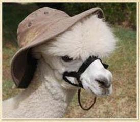 Alpaca Country Estates Alpaca wearing a hat