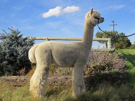 Alpaca Herdsire - SNOWMASS MAJESTY IN MOONLIGHT
