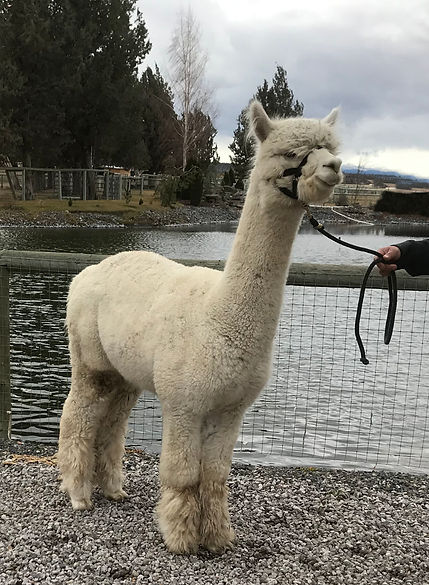 Alpaca Herdsire - ESTATES PURE AZTEC