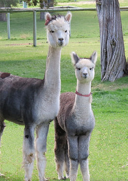Mother and baby alpacas at Alpaca Country Estates