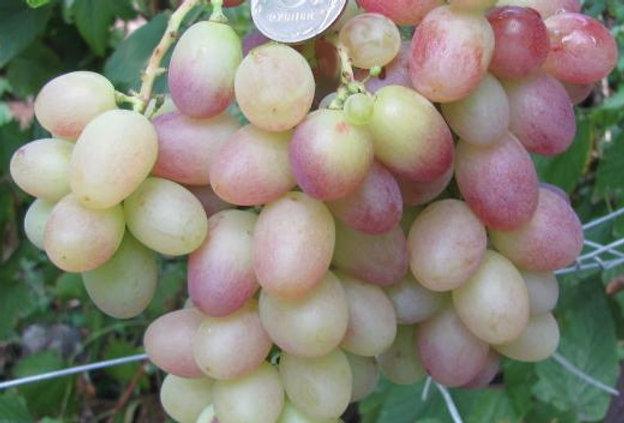 Виноград Столовый Тасон