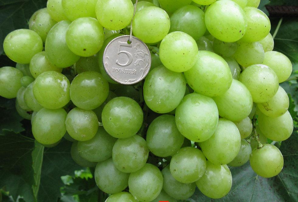 Виноград Столовый Болгария Устойчивая