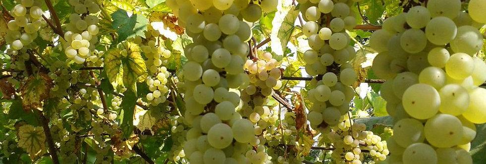 Виноград технический Бианка.