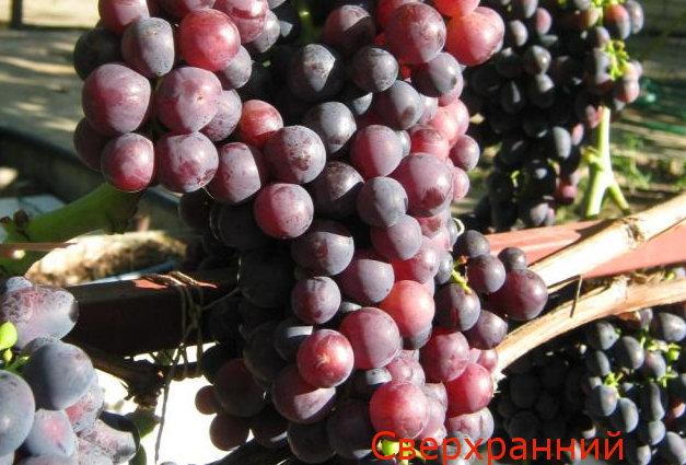 Виноград Столовый Сверхранний Красный Мускат