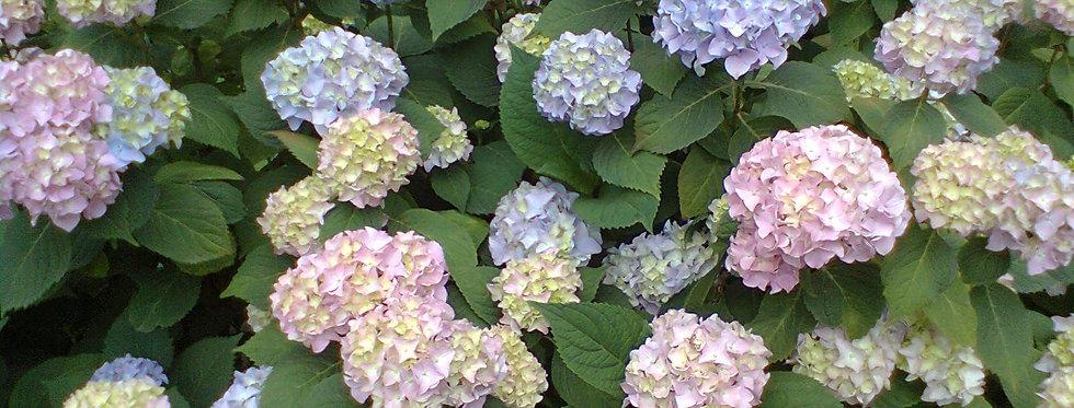 Гортензия Букет Роз (Bouquet Rose)