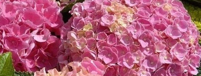 Гортензия Фореве энд Эва Пинк (Forever&Ever Pink)