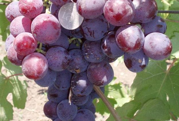 Виноград Столовый Рошфор