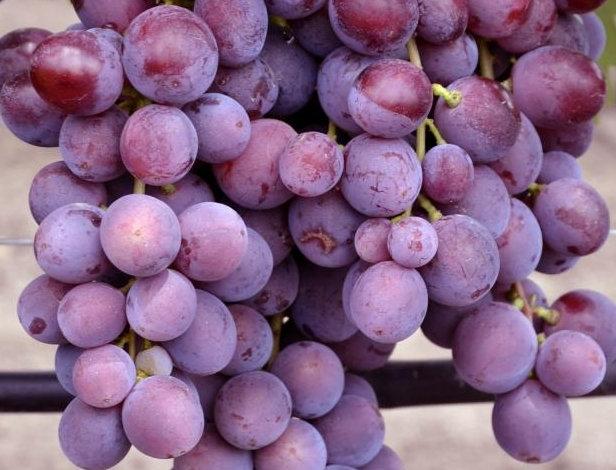 Виноград Столовый Заря Несветая